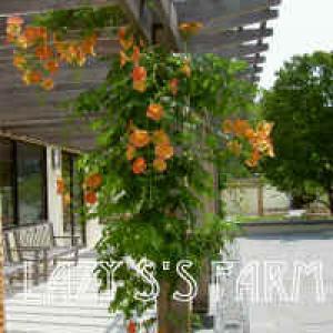 campsis_grandiflora_morning_calmpych_nry