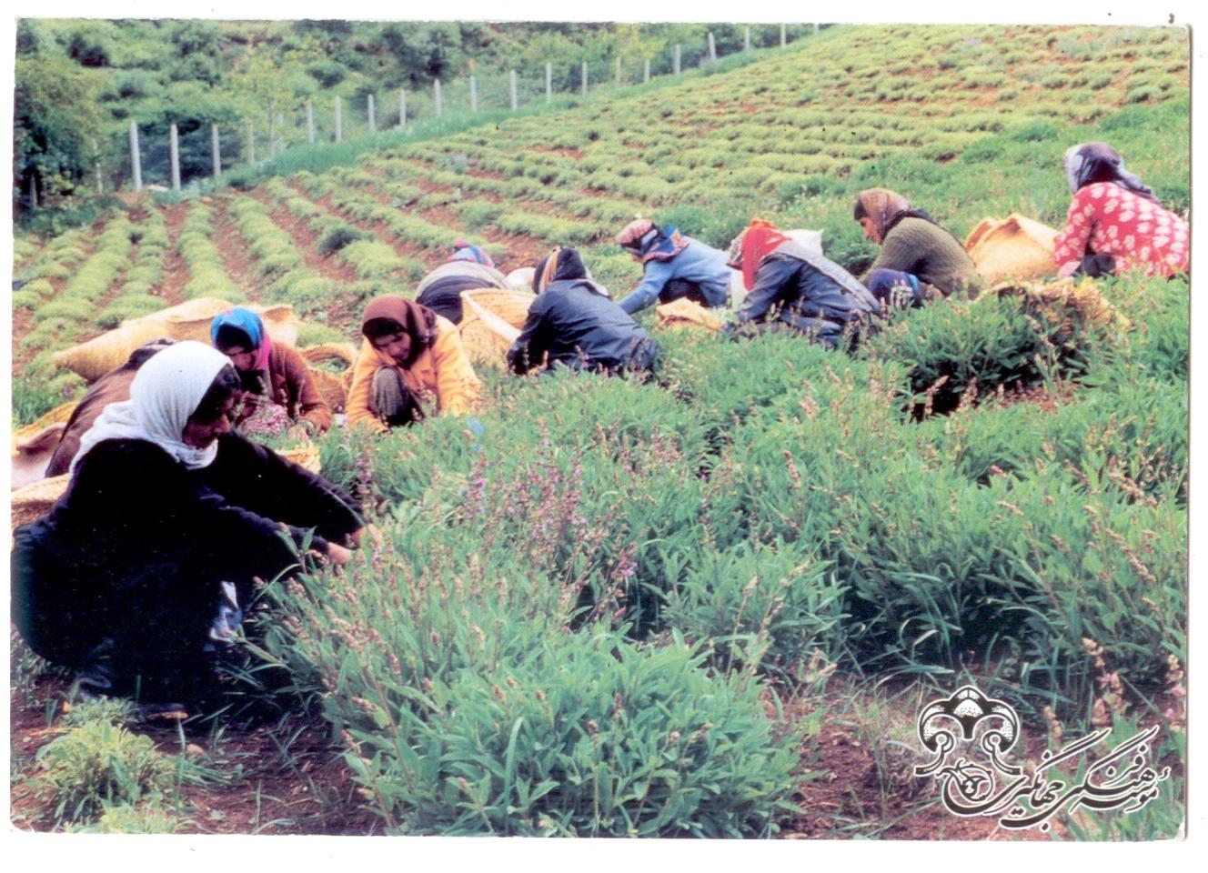 مزارع گیاهان داروئی