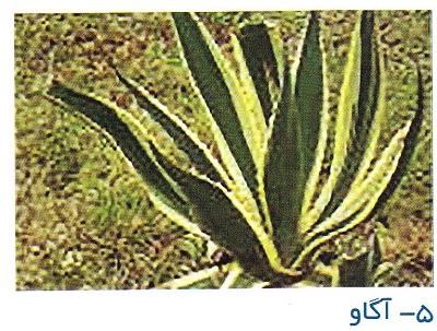 بذر آگاو