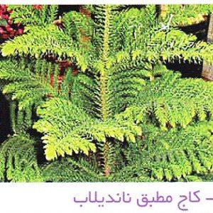 کاج مطبق ناندیلاب