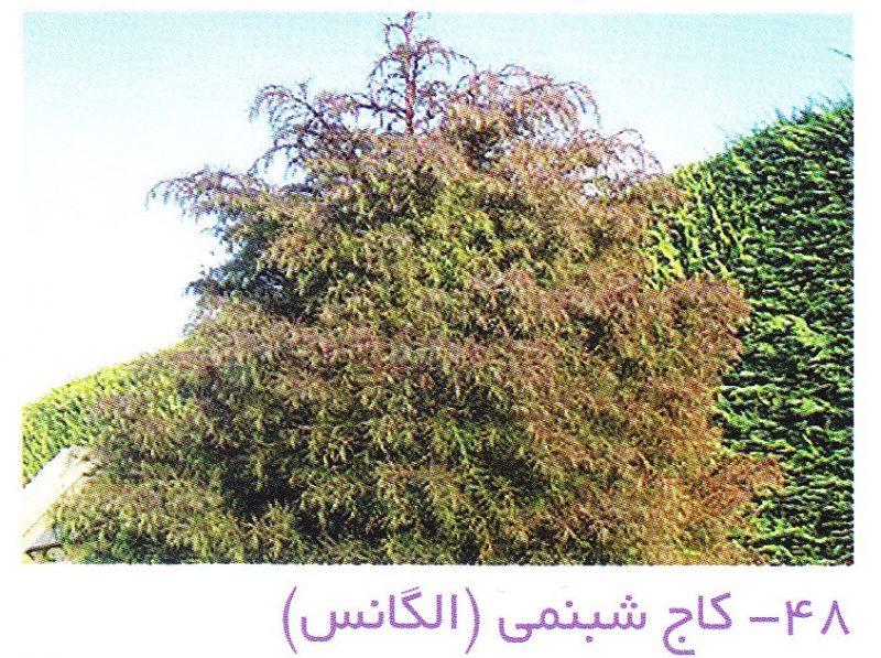 کاج شبنمی