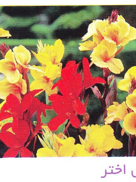 خرید گل اختر