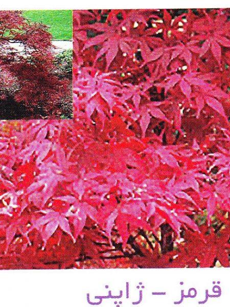 افرا قرمز ژاپنی